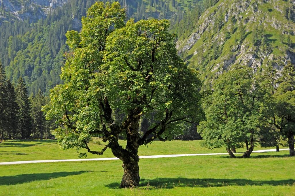2-wankerfeckwiese-ebenwald-bergahorn