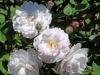 roseninsel-rosarium-6