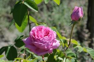 Die historischen Rosen blühen Mitte Juni und Mitte August (Foto: HK)