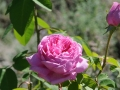 roseninsel-rosarium-5